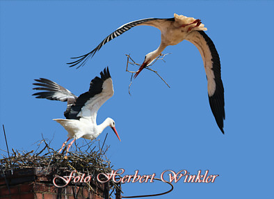 Storch bring Nestmaterial